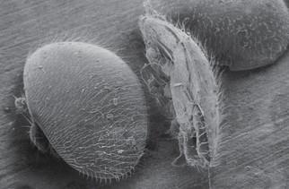 varroa-jacobsoni