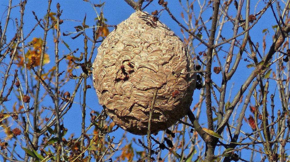 courrier des lecteurs comment diminuer l attaque des frelons asiatiques l 39 abeille de france. Black Bedroom Furniture Sets. Home Design Ideas