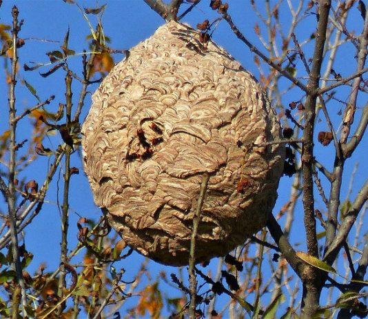 Un nid de frelons asiatiques
