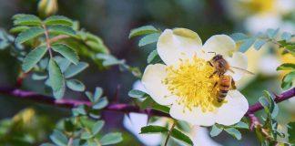 Une abeille butine une fleur blanche