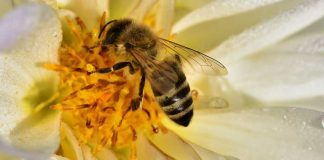 Une abeille récoltant du nectare