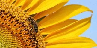 Une abeille sur une fleur de tournesol