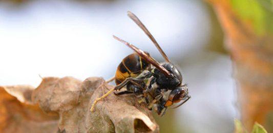 Un frelon asiatique tue une abeille